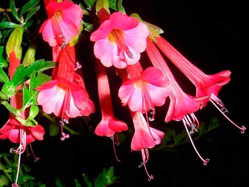 Flores de Perú